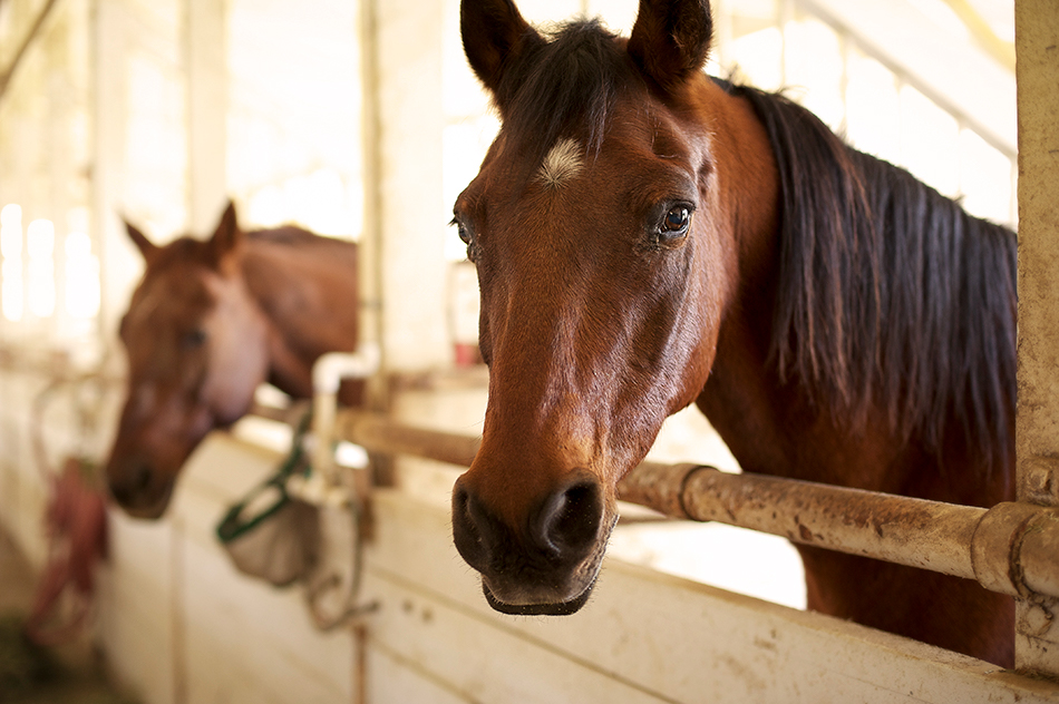 stepp stables brown horses standing in stable
